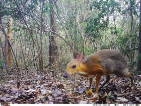 震惊!已消失30年的银背鼷鹿在越南被重新发现